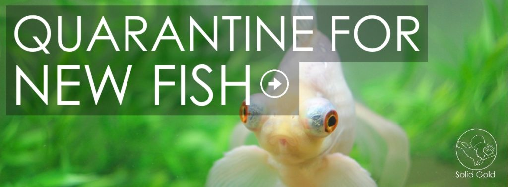 How to quarantine new goldfish