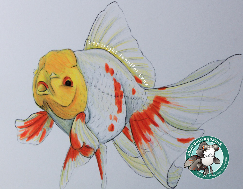 Oranda Goldfish Drawing