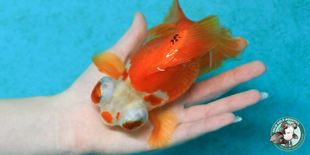 Goldfish update female butterfly telescopes in wading for Solid gold fish