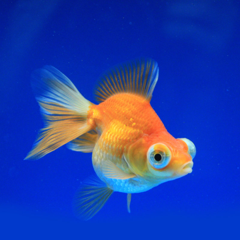 US Bred Goldfish