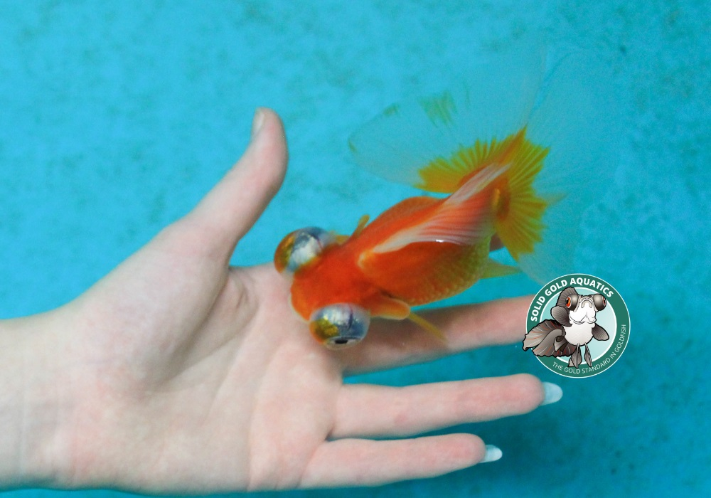 Newly hatched goldfish fry fish room vlog solid gold for Solid gold fish
