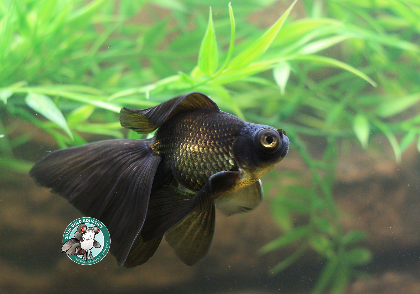 My broadtail moors goldfish update solid gold aquatics for Solid gold fish
