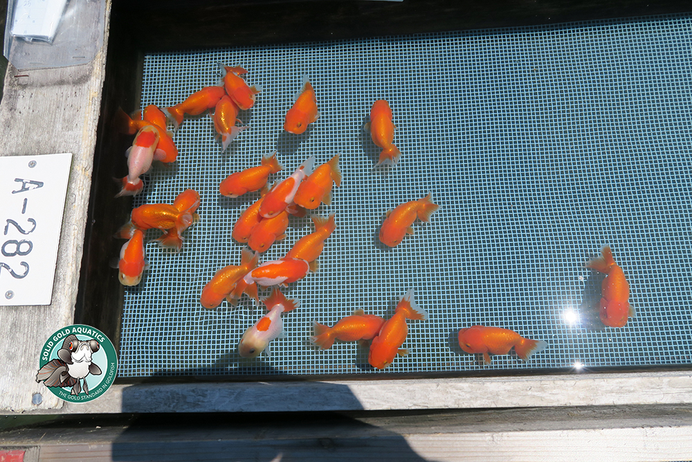 GOLDFISH AUCTION IN JAPAN! // Japan Goldfish Trip: Episode 5