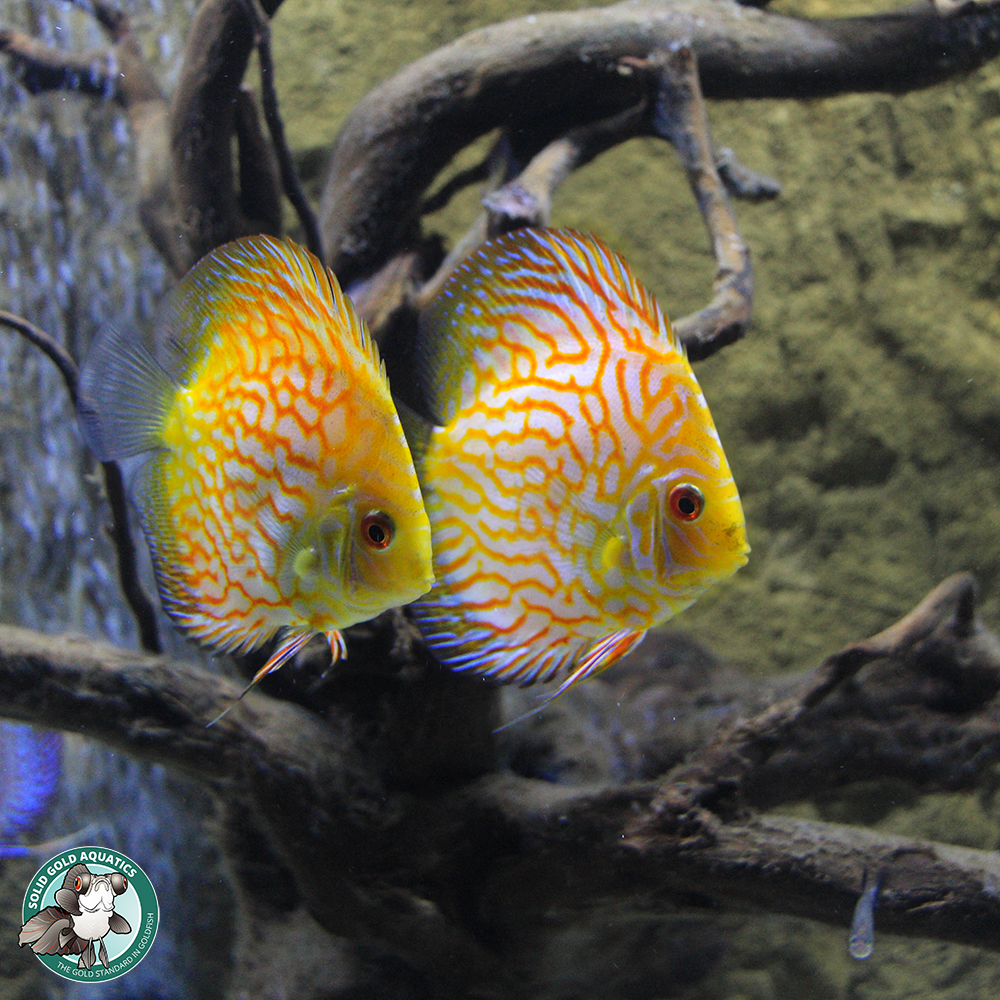 Adding new fish to the discus tank solid gold aquatics for Solid gold fish