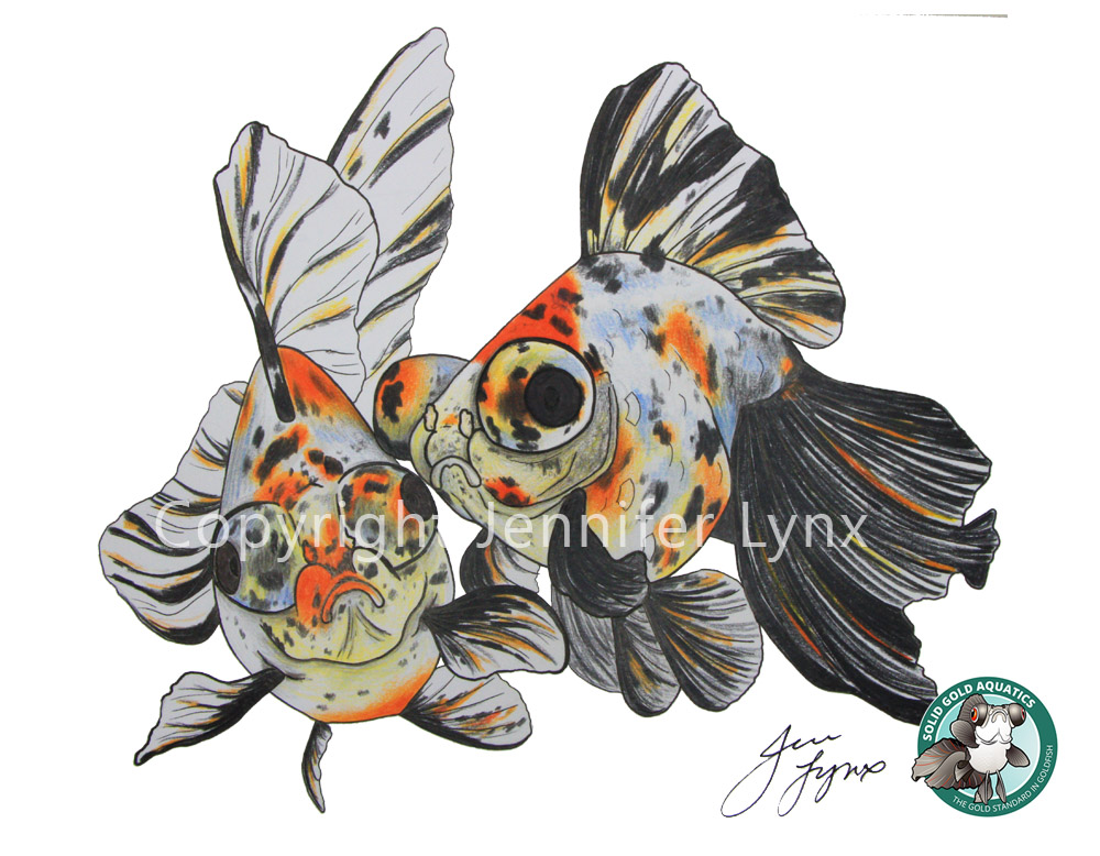 calico butterfly telescope goldfish